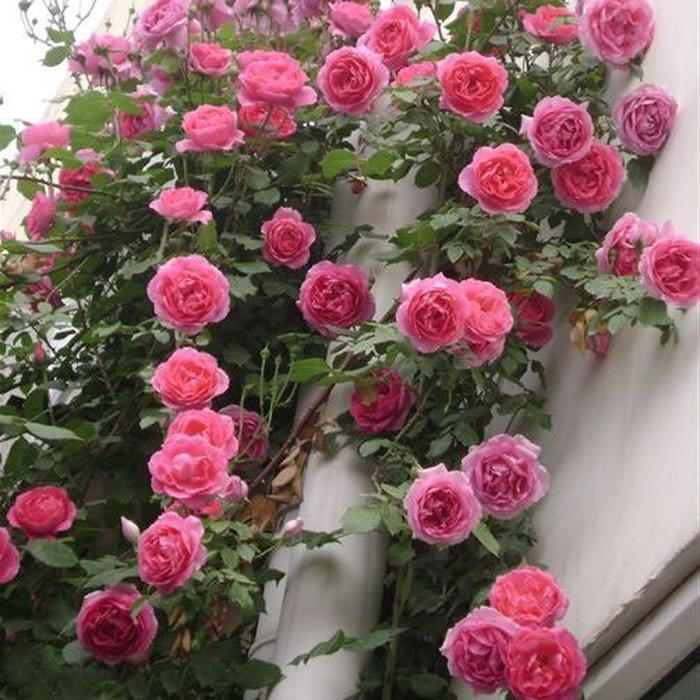 1115玫瑰蔷薇花苗欧月花苗<br/>(独享)券后价 7.9